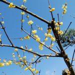 玄関先の蝋梅と巻絹前の山茶花
