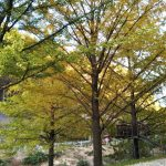 引原峠の大きな銀杏が見ごろを迎えます!!