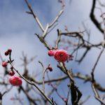 中庭の紅梅が咲き始めました🌸