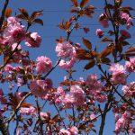 八重桜が満開です🌸