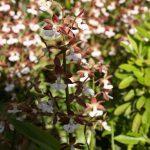 庭に海老根蘭が咲きました🌸